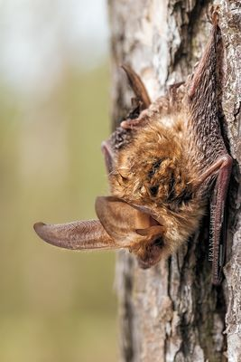 Braune Langohr (Plecotus auritus)