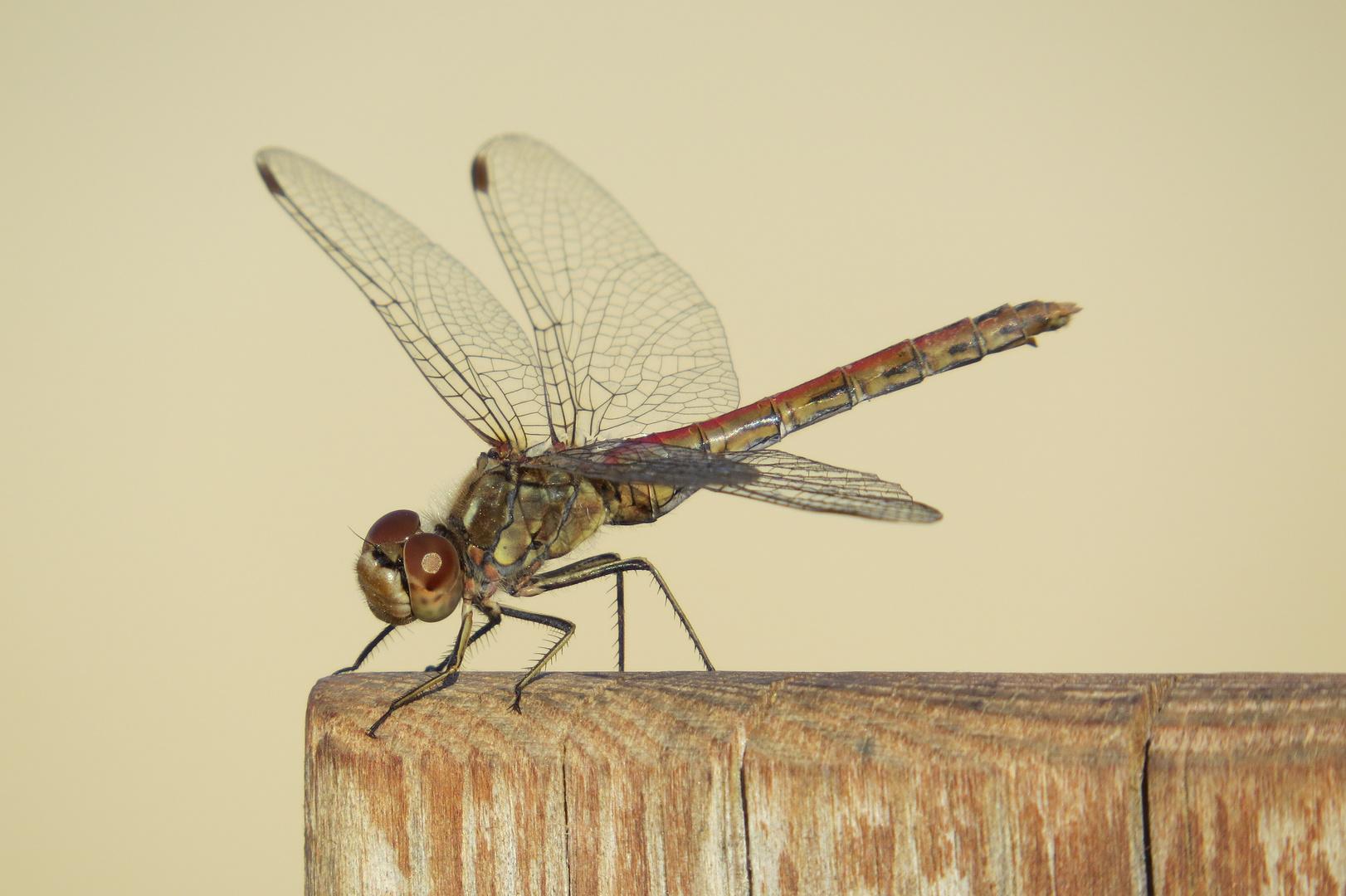 Braune Libelle