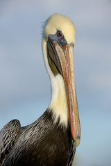 Brauner Pelican; Portrait