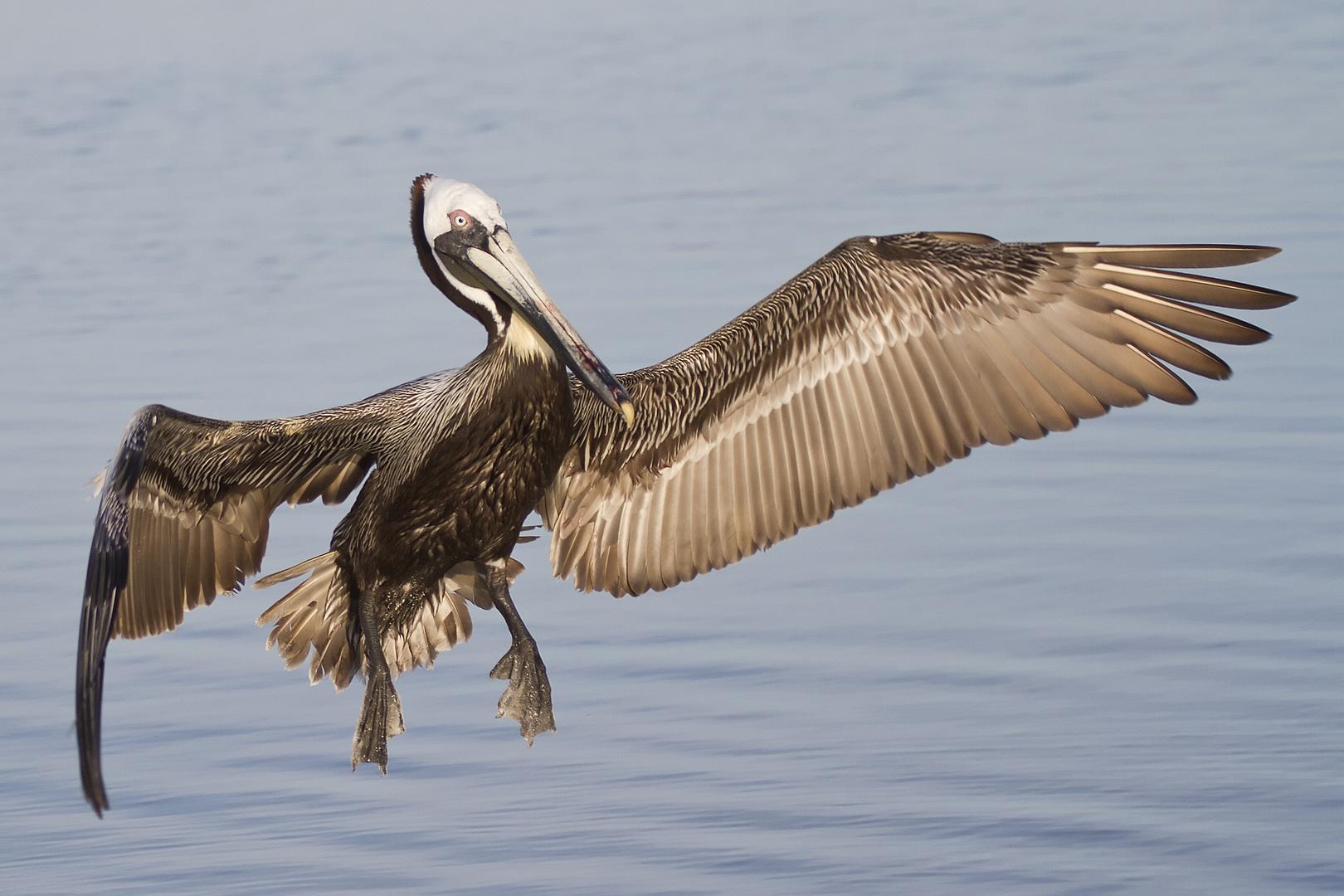 Brauner Pelikan im Anflug