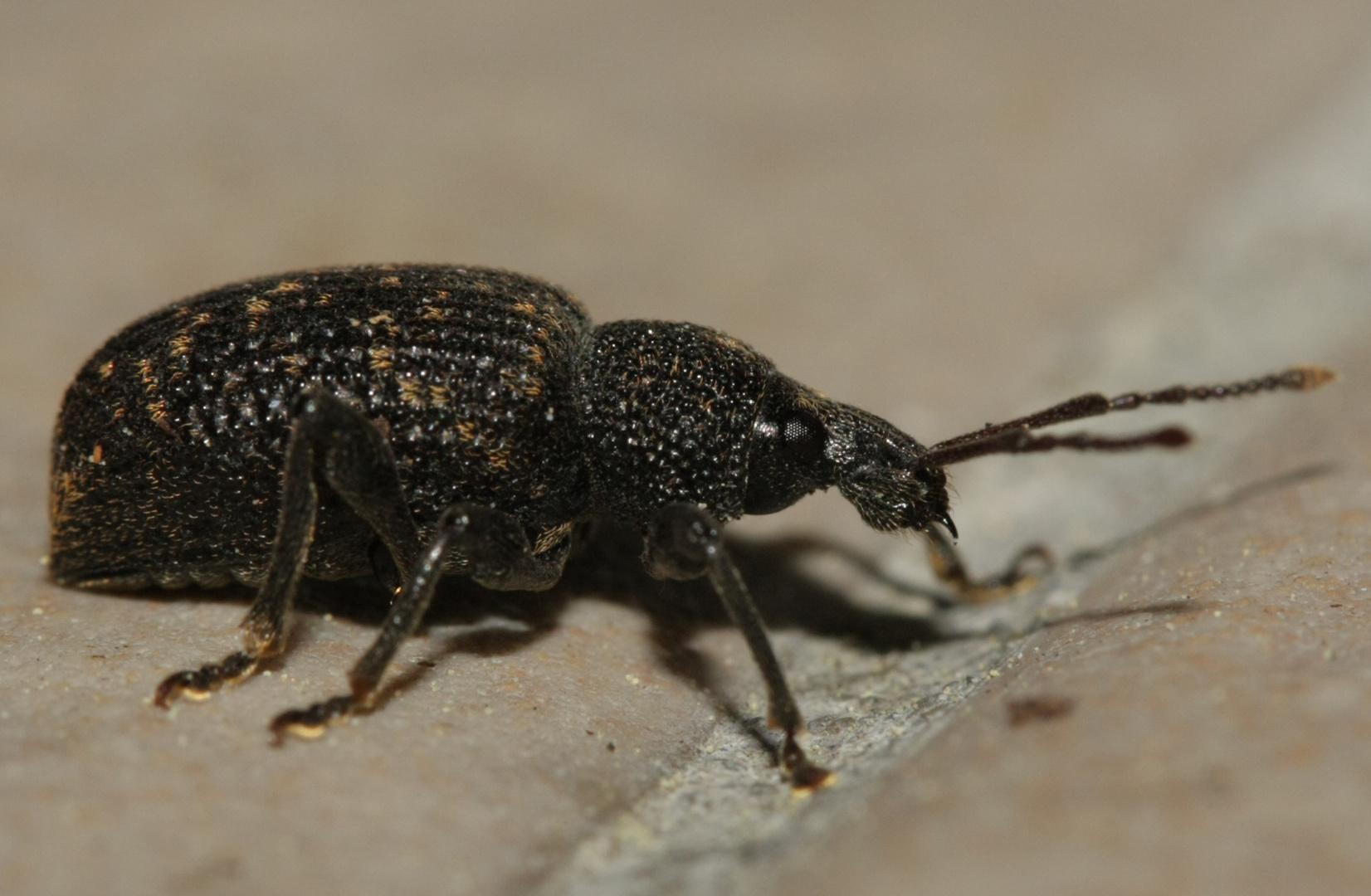 brauner rüsselkäfer