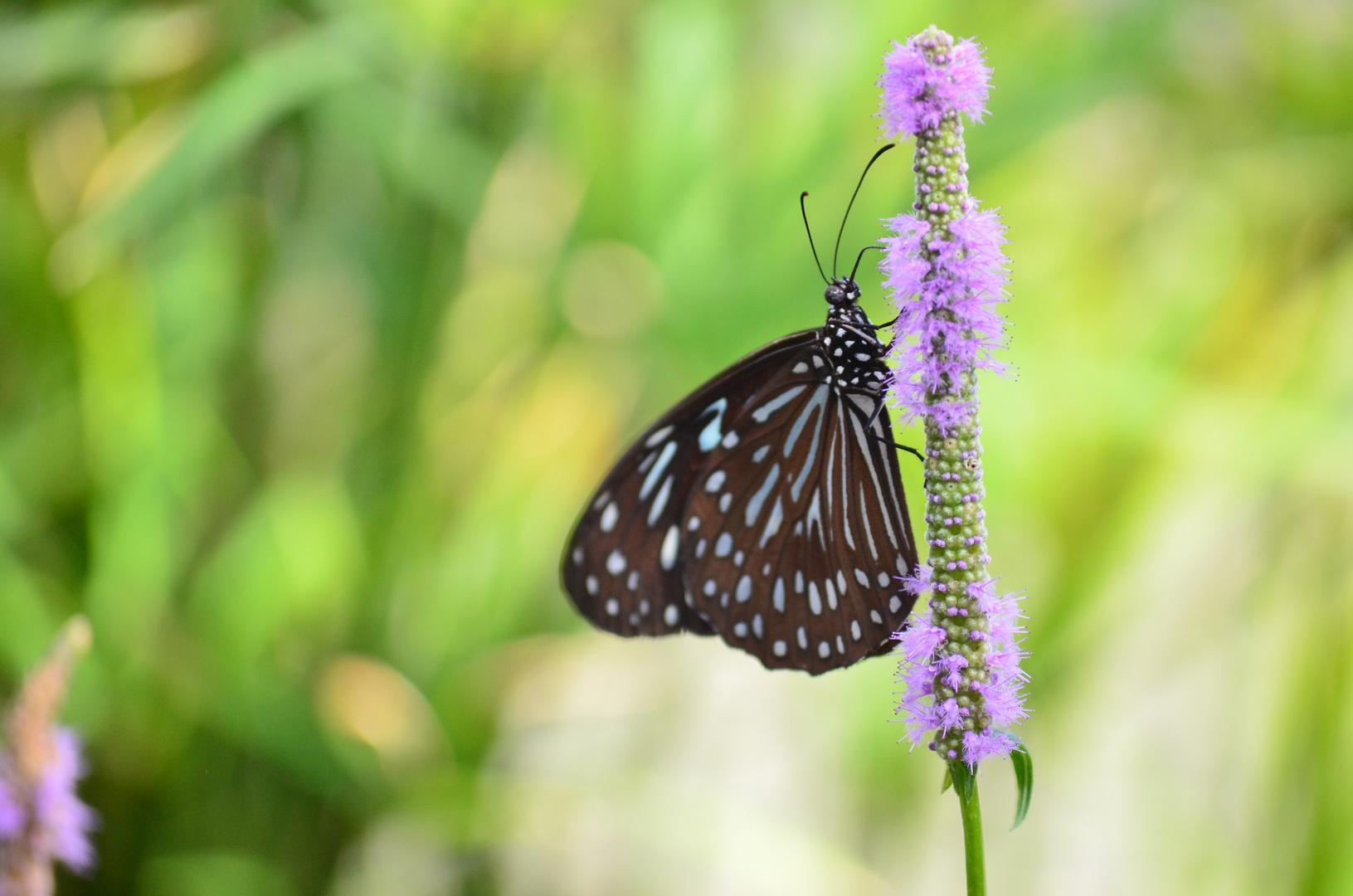 Brauner Schmetterling 3