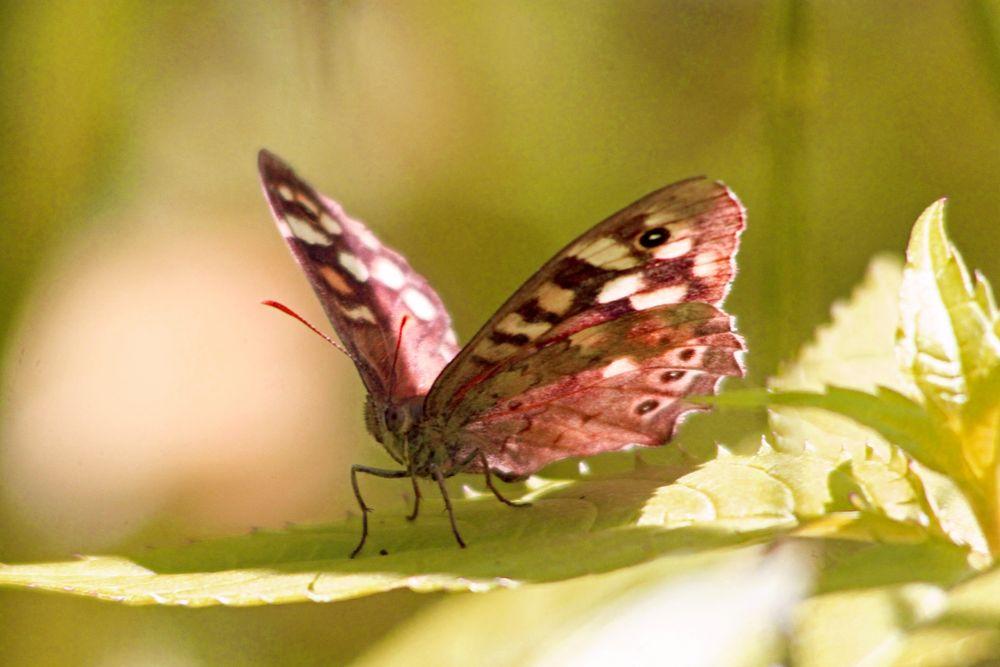 Brauner Waldvogel (Schornsteinfeger) Schmetterling
