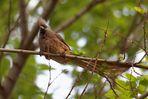 Braunflügel- Mausvogel