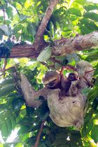 Braunkehl-Faultier (Bradypus variegatus) mit Jungtier, Nationalpark Manuel Antonio, Costa Rica