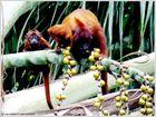 Braunrücken-Monkeys in der peruanischen Selva