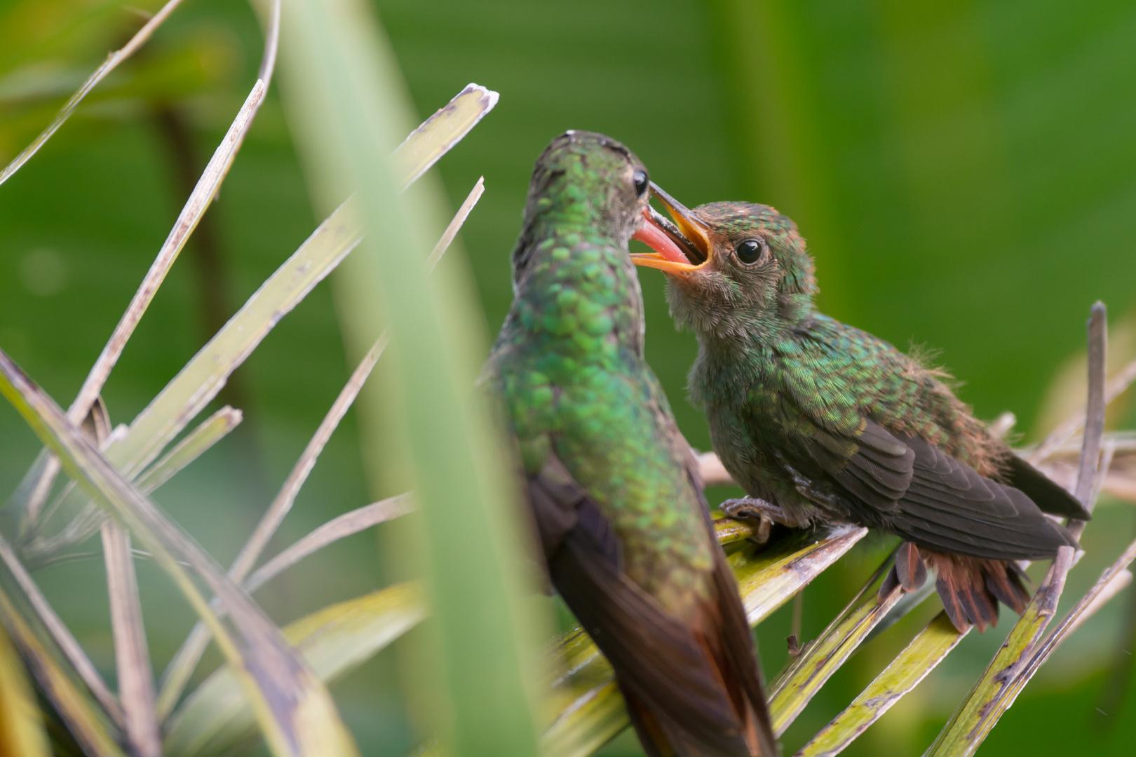 Braunschwanz-Amazilie (Amazilia tzacatl) beim Füttern des Jungen, Orosi, Costa Rica