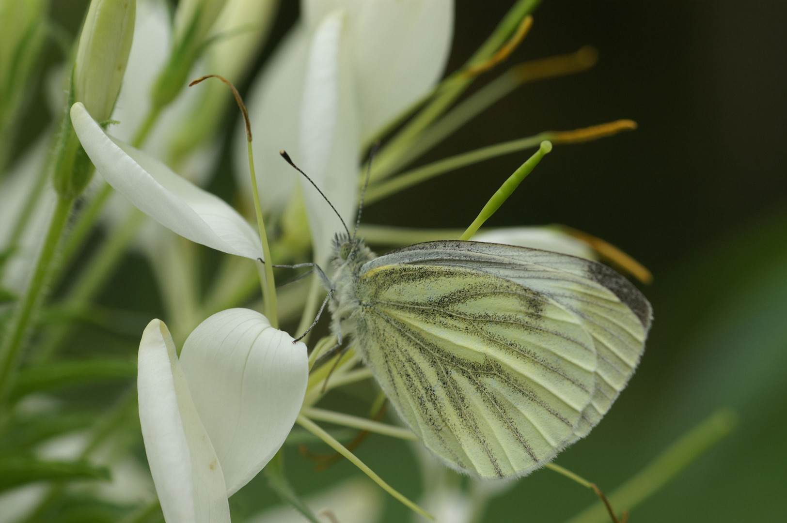 Braver Schmetterling