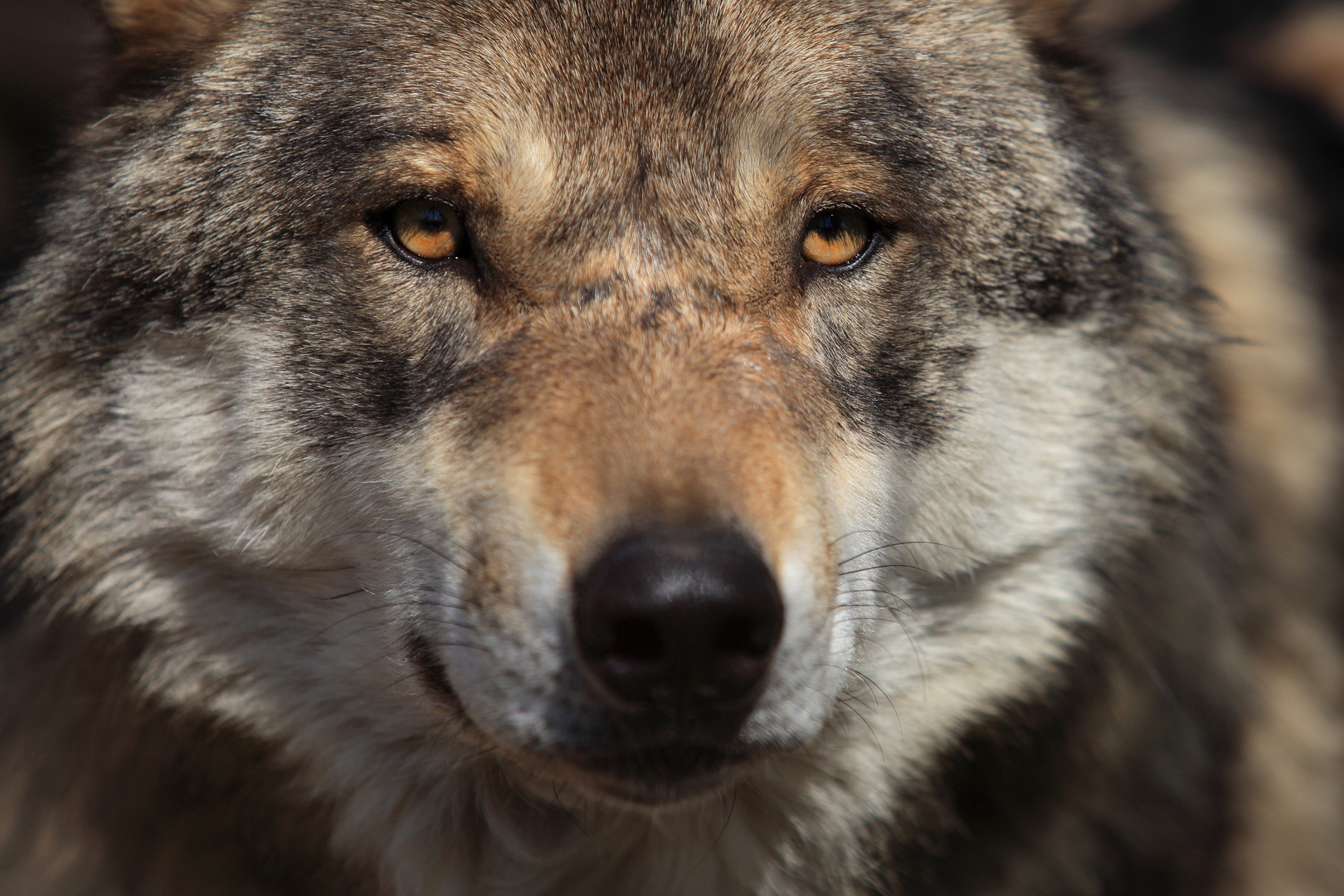 braver Wolf