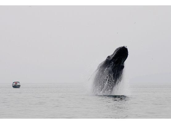 >>Breaching humpback whale <<