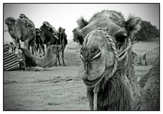 Break For A Camel