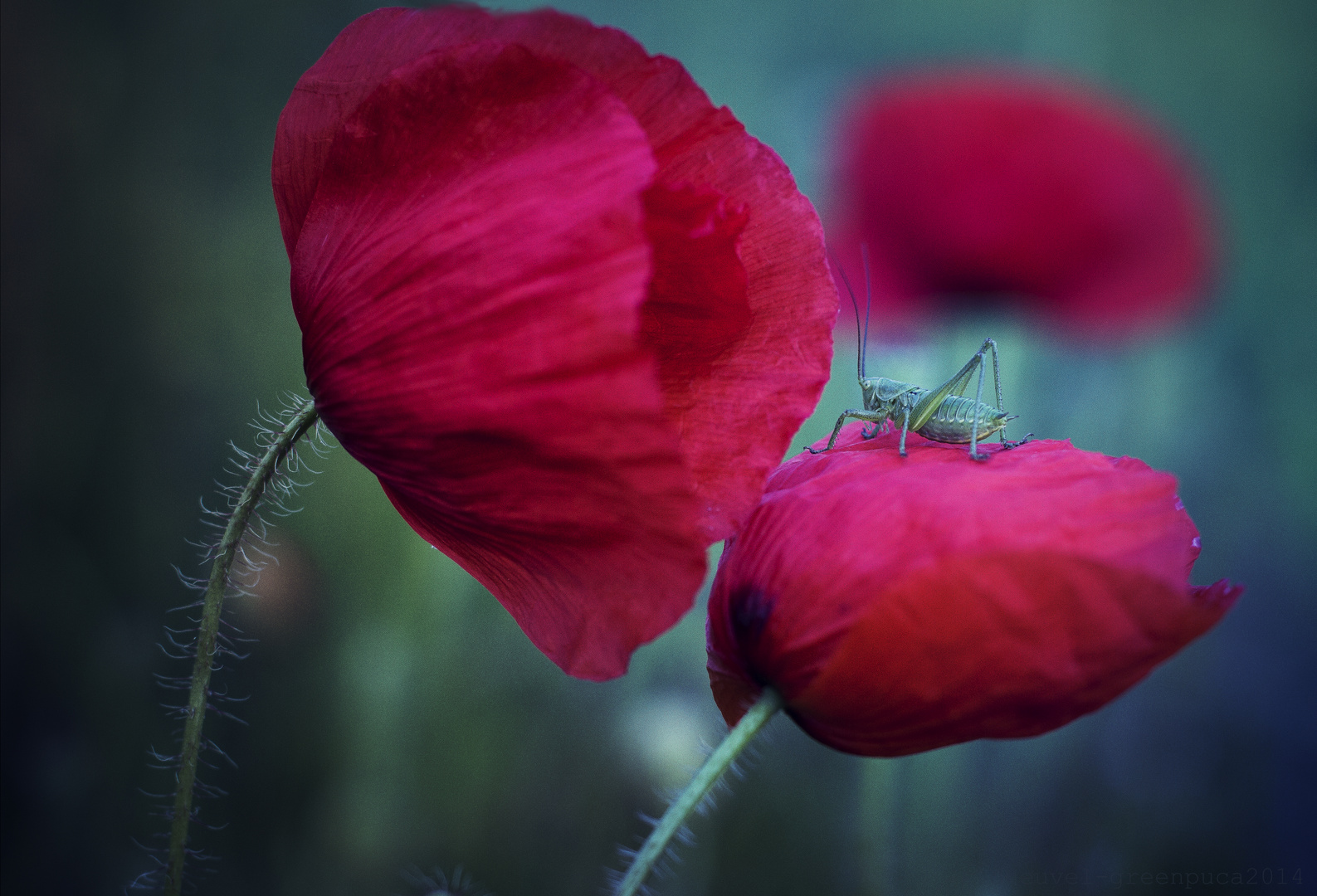 *break on the Poppy flower*