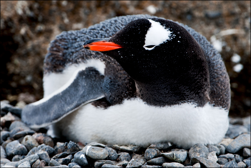[ Breeding Gentoo Penguin ]