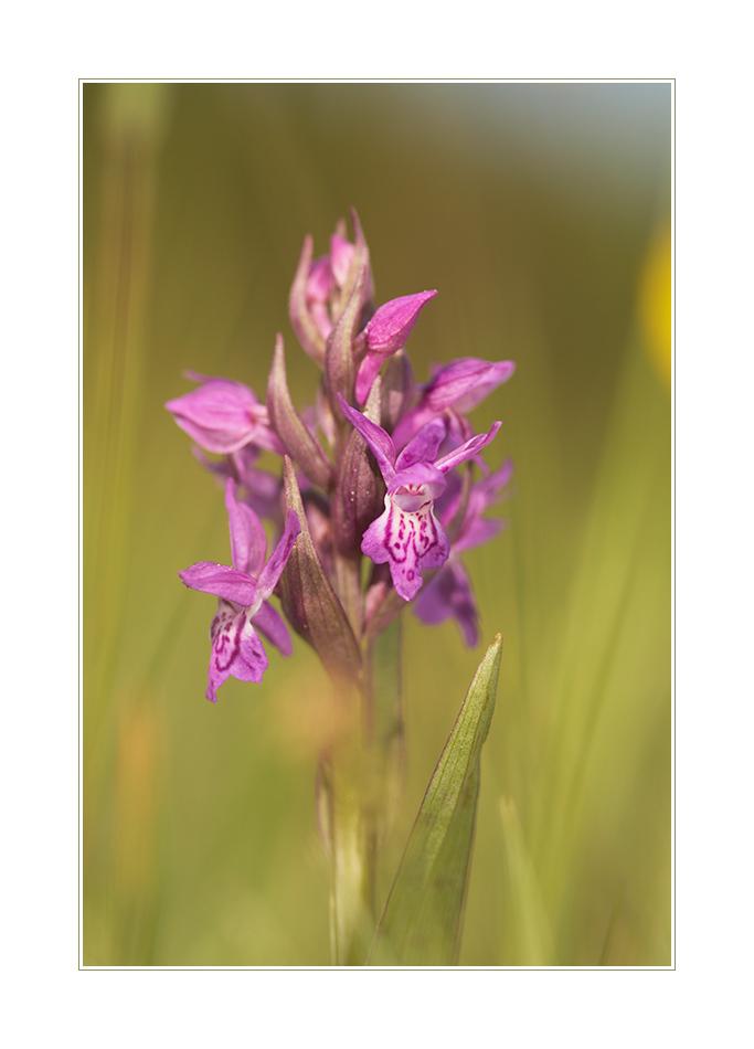 Breitblättriges Knabenkraut (Dactylorihiza majalis)_1