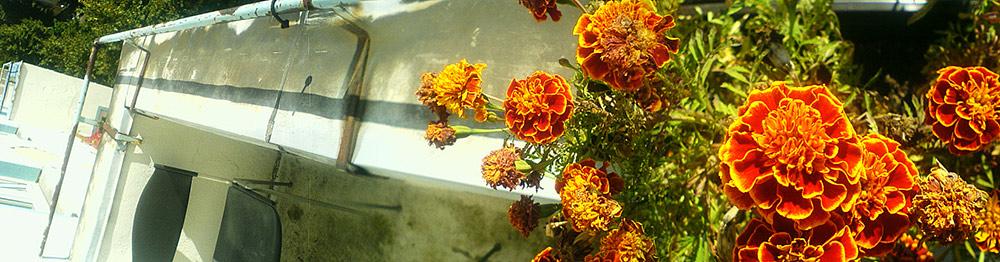 breite Balkonblumen