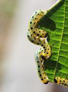 Breitfüßige Birkenblattwespe Larve