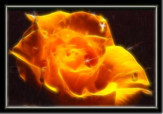 brennende Rose