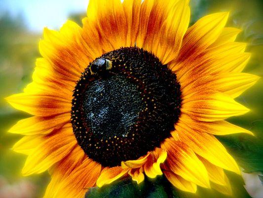 brennende Sonnenblume
