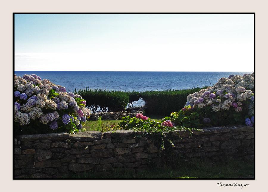 bretonische Hortensien / 2