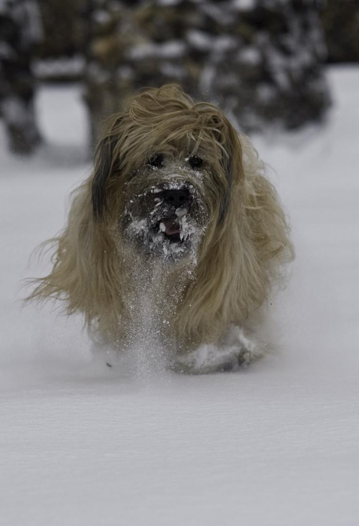 Briard im Schnee 6