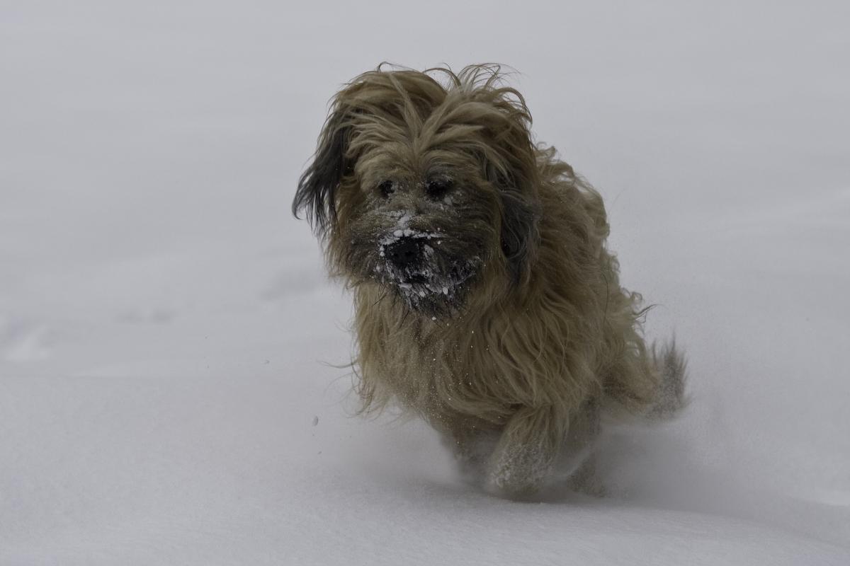 Briard im Schnee 7