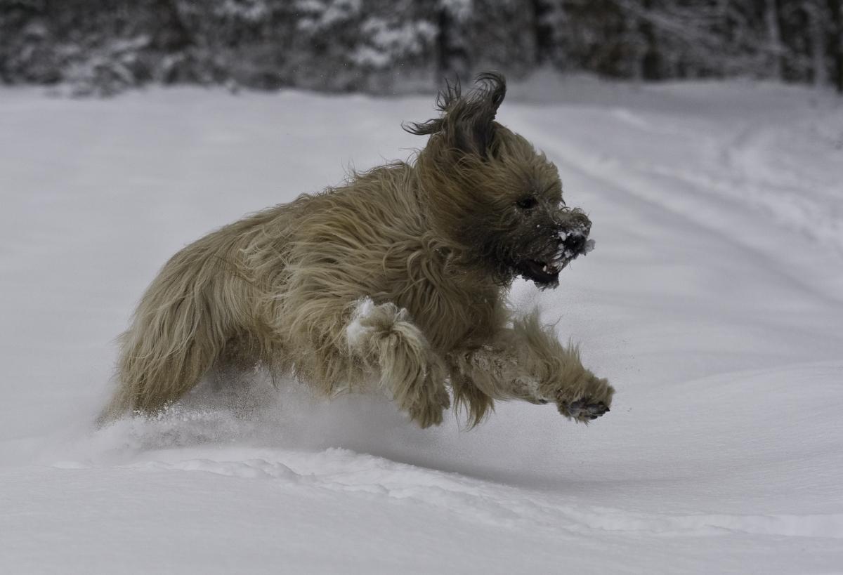 Briard im Schnee 8