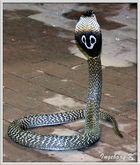 Brillenschlange