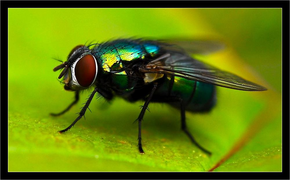 brilliant fly
