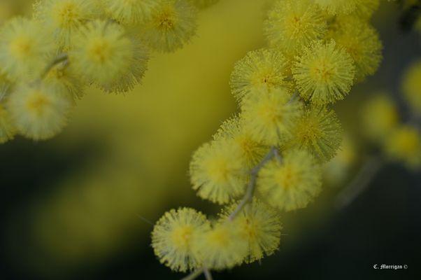 Brin de mimosas