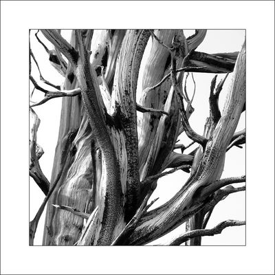 Bristlecone Pine.