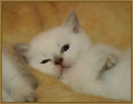 Britisch Kurzhaar Colourpoint Katzenbaby
