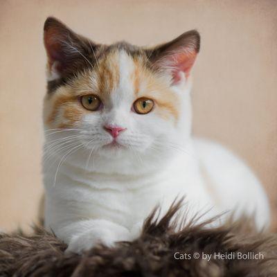 Britisch Kurzhaar Kitten / 11