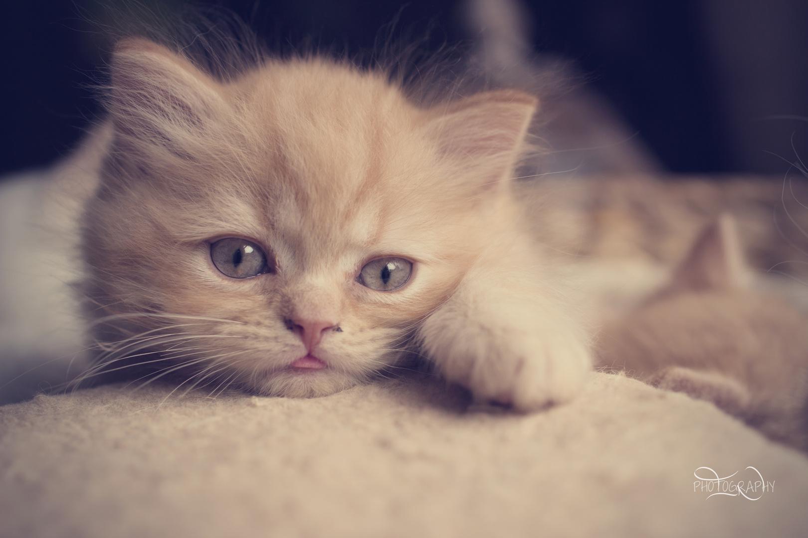 Britisch Kurzhaar Kitten 8 Wochen alt