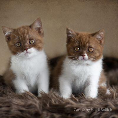 Britisch Kurzhaar Kittens / 2