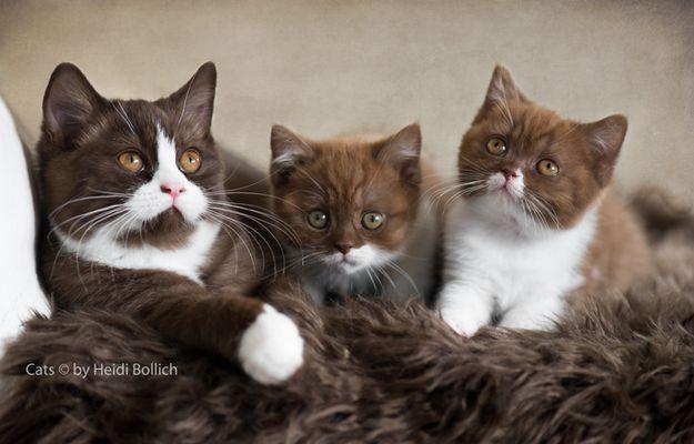 Britisch Kurzhaar Kittens / 3