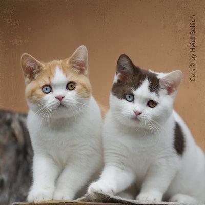 Britisch Kurzhaar Kittens / 4