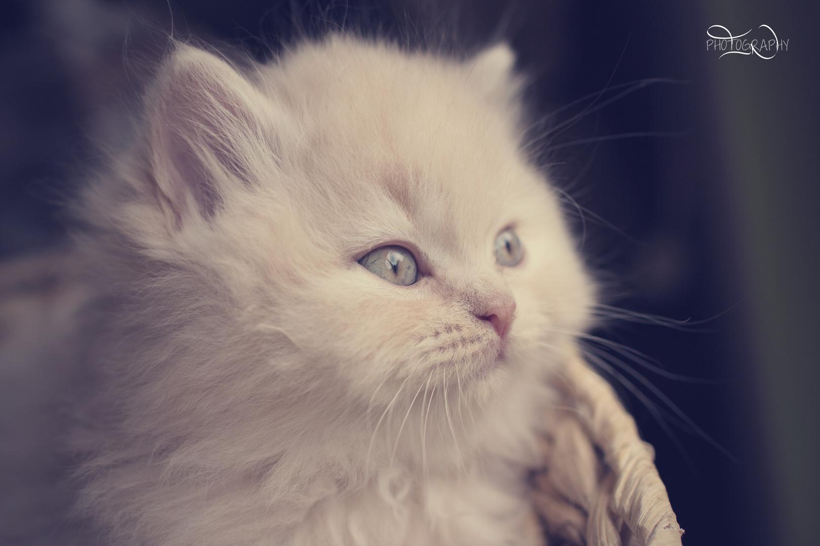 Britisch Langhaar Kitten 8 Wochen alt