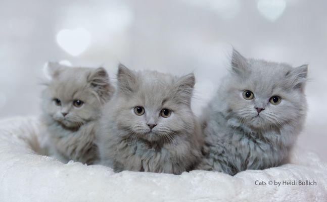 Britisch Langhaar Kittens / 1