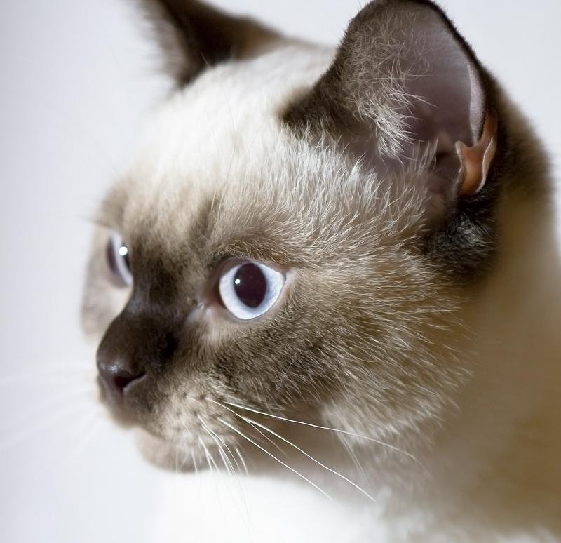 British Kurzhaar Kitten