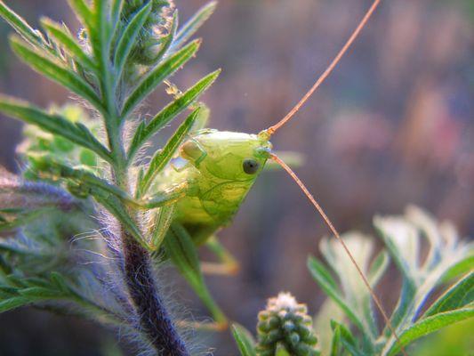 Broad winged katydid