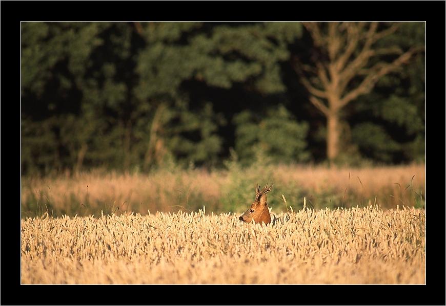 Brocard dans le blé-Juillet 2008