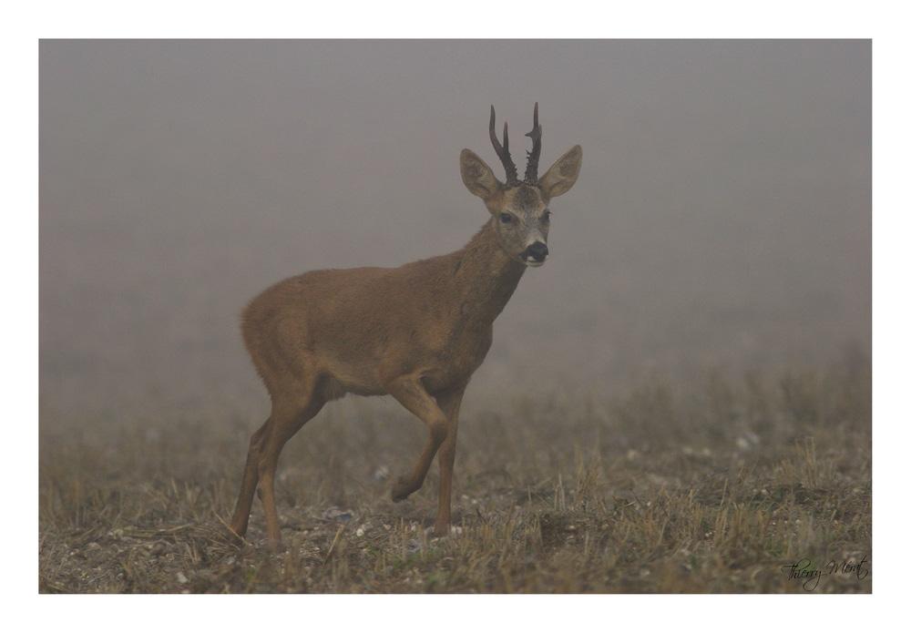 Brocard dans le brouillard