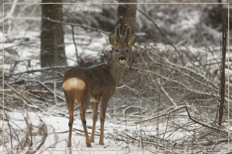 brocard sous la neige