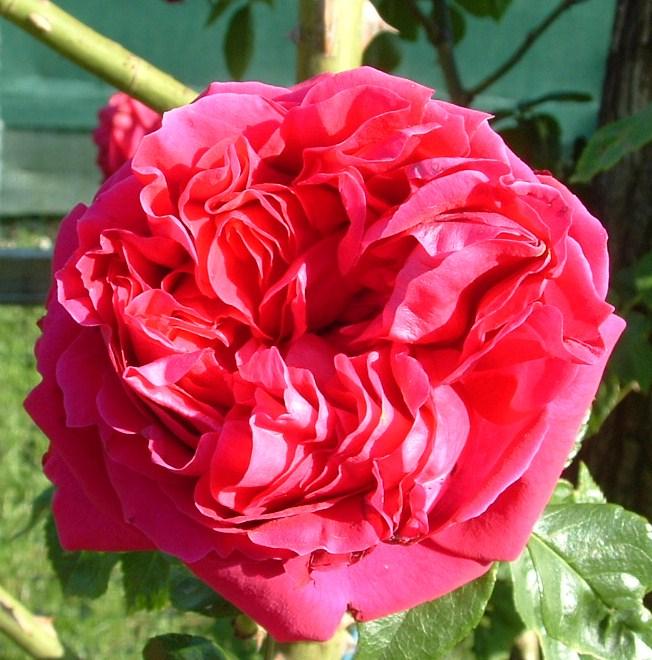 broderie de rose