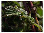 Brombeerblätter im Sonnenschein