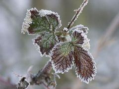 Brombeerblatt im Winterschlaf