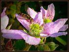 -Brombeerblüte und das zu dieser Jahreszeit-