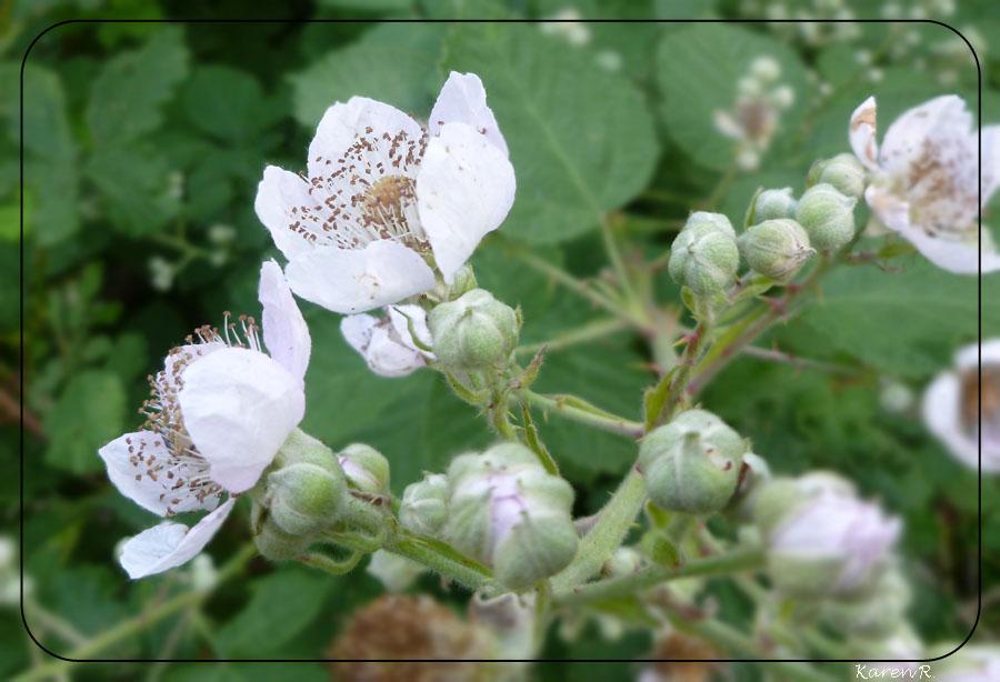 Brombeerblüten