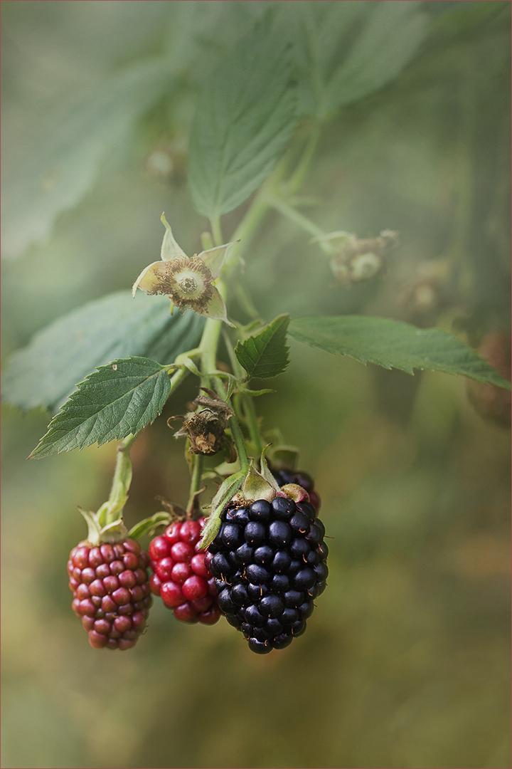 Brombeeren - Rubus sectio Rubus....