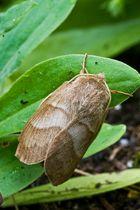 Brombeerspinner Draufsicht (Macrothylacia rubi)